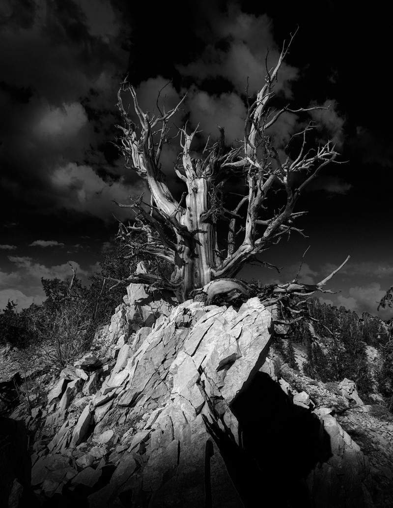 ca-bristlecone-pine-bw