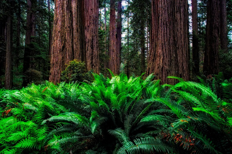 california-redwoods